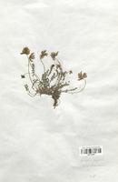 https://bibliotheque-virtuelle.bu.uca.fr/files/fichiers_bcu/Fabaceae_Astragalus_lapponicus_CLF113429.jpg
