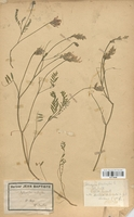 https://bibliotheque-virtuelle.bu.uca.fr/files/fichiers_bcu/Fabaceae_Astragalus_onobrychis_CLF113439.jpg