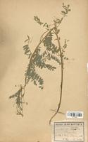 https://bibliotheque-virtuelle.bu.uca.fr/files/fichiers_bcu/Fabaceae_Astragalus_penduliflorus_CLF113434.jpg