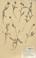 https://bibliotheque-virtuelle.bu.uca.fr/files/fichiers_bcu/Fabaceae_Astragalus_purpureus_CLF113444.jpg