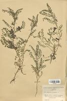 https://bibliotheque-virtuelle.bu.uca.fr/files/fichiers_bcu/Fabaceae_Biserrula_pelecinus_CLF113412.jpg