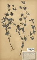 https://bibliotheque-virtuelle.bu.uca.fr/files/fichiers_bcu/Fabaceae_Bonjeania_recta_CLF113368.jpg