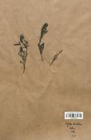 https://bibliotheque-virtuelle.bu.uca.fr/files/fichiers_bcu/Fabaceae_Cytisus_decumbens_CLF113416.jpg