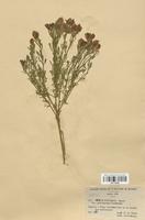 https://bibliotheque-virtuelle.bu.uca.fr/files/fichiers_bcu/Fabaceae_Cytisus_fontanesii_platycarpus_CLF113420.jpg
