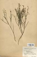 https://bibliotheque-virtuelle.bu.uca.fr/files/fichiers_bcu/Fabaceae_Genista_purgans_genuinus_CLF113417.jpg
