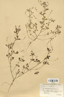 https://bibliotheque-virtuelle.bu.uca.fr/files/fichiers_bcu/Fabaceae_Melilotus_neapolitanus_CLF113409.jpg