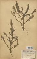 https://bibliotheque-virtuelle.bu.uca.fr/files/fichiers_bcu/Fabaceae_Ononis_ramosissima_CLF113479.jpg