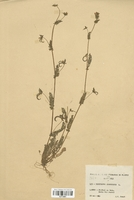 https://bibliotheque-virtuelle.bu.uca.fr/files/fichiers_bcu/Fabaceae_Ornithopus_compressus_CLF113361.jpg