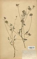 https://bibliotheque-virtuelle.bu.uca.fr/files/fichiers_bcu/Fabaceae_Psoralea_bituminosa_CLF113410.jpg