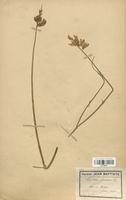 https://bibliotheque-virtuelle.bu.uca.fr/files/fichiers_bcu/Fabaceae_Spartium_junceum_CLF113424.jpg