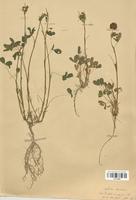 https://bibliotheque-virtuelle.bu.uca.fr/files/fichiers_bcu/Fabaceae_Trifolium_badium_CLF113399.jpg