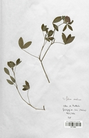 https://bibliotheque-virtuelle.bu.uca.fr/files/fichiers_bcu/Fabaceae_Trifolium_medium_CLF113384.jpg