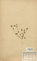 https://bibliotheque-virtuelle.bu.uca.fr/files/fichiers_bcu/Fabaceae_Trifolium_saxatile_CLF113396.jpg