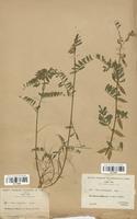 https://bibliotheque-virtuelle.bu.uca.fr/files/fichiers_bcu/Fabaceae_Vicia_pannonica_CLF113467.jpg