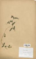 https://bibliotheque-virtuelle.bu.uca.fr/files/fichiers_bcu/Fabaceae_Vicia_sativa_CLF113468.jpg