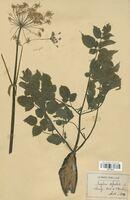 https://bibliotheque-virtuelle.bu.uca.fr/files/fichiers_bcu/Apiaceae_Angelica_sylvestris_CLF113578.jpg