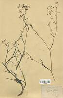 https://bibliotheque-virtuelle.bu.uca.fr/files/fichiers_bcu/Apiaceae_Bupleurum_falcatum_CLF113551.jpg