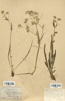https://bibliotheque-virtuelle.bu.uca.fr/files/fichiers_bcu/Apiaceae_Bupleurum_stellatum_CLF113550.jpg