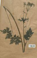 https://bibliotheque-virtuelle.bu.uca.fr/files/fichiers_bcu/Apiaceae_Chaerophyllum_cicutaria_CLF113501.jpg