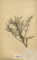 https://bibliotheque-virtuelle.bu.uca.fr/files/fichiers_bcu/Apiaceae_Echinophora_spinosa_CLF113492.jpg