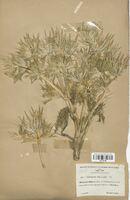 https://bibliotheque-virtuelle.bu.uca.fr/files/fichiers_bcu/Apiaceae_Eryngium_spina-alba_CLF113498.jpg