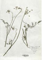 https://bibliotheque-virtuelle.bu.uca.fr/files/fichiers_bcu/Apiaceae_Peucedanum_carvifolia_CLF113524.jpg