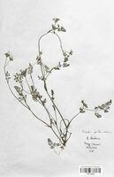 https://bibliotheque-virtuelle.bu.uca.fr/files/fichiers_bcu/Apiaceae_Scandix_pecten-veneris_CLF113535.jpg