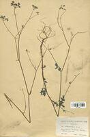 https://bibliotheque-virtuelle.bu.uca.fr/files/fichiers_bcu/Apiaceae_Torilis_rubella_CLF113502.jpg