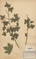 https://bibliotheque-virtuelle.bu.uca.fr/files/fichiers_bcu/Aceraceae_Acer_campestre_CLF113650.jpg