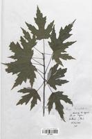 https://bibliotheque-virtuelle.bu.uca.fr/files/fichiers_bcu/Aceraceae_Acer_dasycladum_CLF113649.jpg