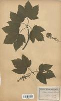 https://bibliotheque-virtuelle.bu.uca.fr/files/fichiers_bcu/Aceraceae_Acer_pseudoplatanus_CLF113651.jpg
