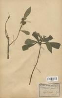 https://bibliotheque-virtuelle.bu.uca.fr/files/fichiers_bcu/Thymelaeaceae_Daphne_laureola_CLF113711.jpg