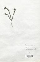 https://bibliotheque-virtuelle.bu.uca.fr/files/fichiers_bcu/Euphorbiaceae_Euphorbia_exigua_CLF113663.jpg