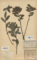 https://bibliotheque-virtuelle.bu.uca.fr/files/fichiers_bcu/Euphorbiaceae_Euphorbia_hyberna_CLF113671.jpg