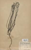 https://bibliotheque-virtuelle.bu.uca.fr/files/fichiers_bcu/Euphorbiaceae_Euphorbia_lathyris_CLF113668.jpg