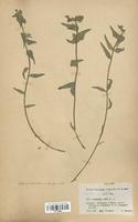 https://bibliotheque-virtuelle.bu.uca.fr/files/fichiers_bcu/Euphorbiaceae_Euphorbia_serrata_CLF113686.jpg