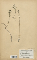https://bibliotheque-virtuelle.bu.uca.fr/files/fichiers_bcu/Euphorbiaceae_Euphorbia_tenuifolia_CLF113687.jpg