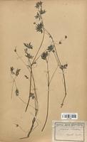 https://bibliotheque-virtuelle.bu.uca.fr/files/fichiers_bcu/Geraniaceae_Geranium_columbinum_CLF113622.jpg