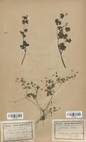 https://bibliotheque-virtuelle.bu.uca.fr/files/fichiers_bcu/Geraniaceae_Geranium_lucidum_CLF113625.jpg