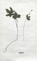 https://bibliotheque-virtuelle.bu.uca.fr/files/fichiers_bcu/Geraniaceae_Geranium_nodosum_CLF113629.jpg