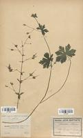 https://bibliotheque-virtuelle.bu.uca.fr/files/fichiers_bcu/Geraniaceae_Geranium_phaeum_CLF113627.jpg