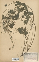 https://bibliotheque-virtuelle.bu.uca.fr/files/fichiers_bcu/Geraniaceae_Geranium_pyrenaicum_CLF113634.jpg