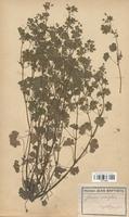 https://bibliotheque-virtuelle.bu.uca.fr/files/fichiers_bcu/Geraniaceae_Geranium_rotundifolium_CLF113635.jpg