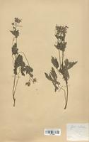 https://bibliotheque-virtuelle.bu.uca.fr/files/fichiers_bcu/Geraniaceae_Geranium_sylvaticum_CLF113633.jpg