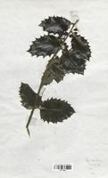 https://bibliotheque-virtuelle.bu.uca.fr/files/fichiers_bcu/Aquifoliaceae_Ilex_aquifolium_CLF113699.jpg
