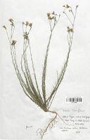 https://bibliotheque-virtuelle.bu.uca.fr/files/fichiers_bcu/Linaceae_Linum_tenuifolium_CLF113586.jpg