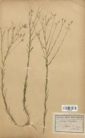 https://bibliotheque-virtuelle.bu.uca.fr/files/fichiers_bcu/Linaceae_Linum_ternuifolium_CLF113598.jpg