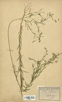 https://bibliotheque-virtuelle.bu.uca.fr/files/fichiers_bcu/Linaceae_Linum_usitatissimum_CLF113593.jpg