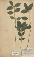 https://bibliotheque-virtuelle.bu.uca.fr/files/fichiers_bcu/Euphorbiaceae_Mercurialis_perennis_CLF113697.jpg