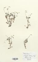 https://bibliotheque-virtuelle.bu.uca.fr/files/fichiers_bcu/Oxalidaceae_Oxalis_stricta_CLF113615.jpg